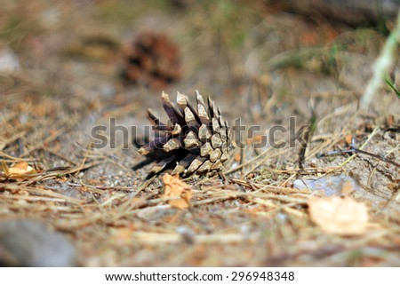 Pine cone on ground in summer pine forest