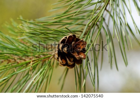 pine cone, on pine branch