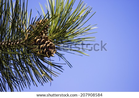 pine cone, on pine branch  - stock photo