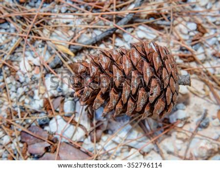 pine cone on the ground. - stock photo