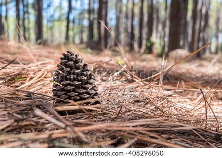 Pine Cone on the needles ground in Coniferous forest - stock photo