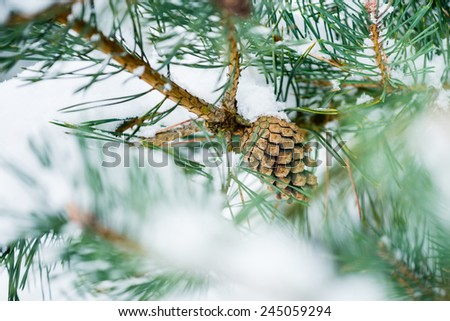 Pine cone on the tree covered with fresh snow - stock photo