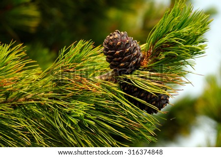 pine cones on a branch. Photo toned  - stock photo