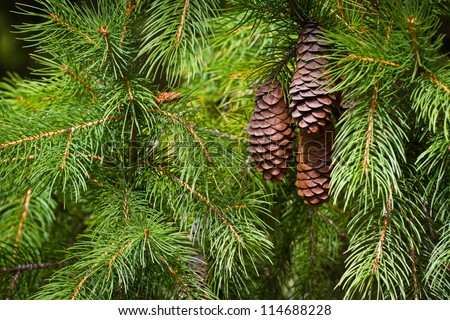 Pine cones on the branch. - stock photo