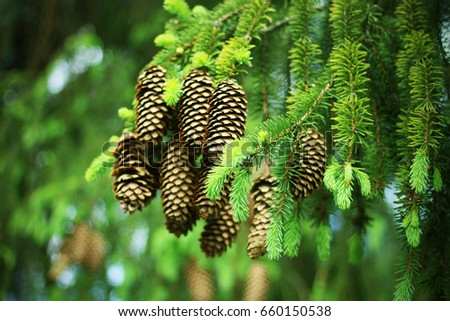 Pine cones on the green background of the Christmas tree. Big brown cones on the branch of the pine tree. Christmas background with cones.