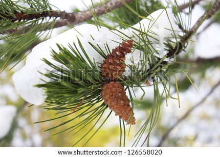 Pine cones on tree against sky background - stock photo