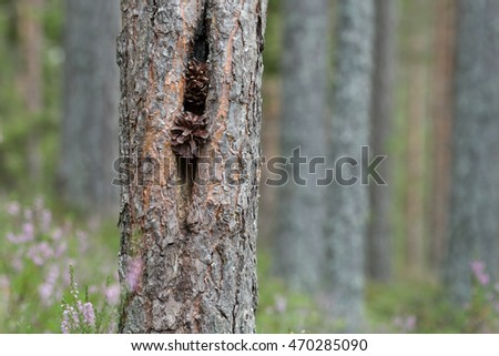 Pine cones stuck in pine tree after animals feeding