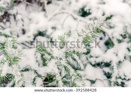 Pine fir twig in the snow in the winter - stock photo