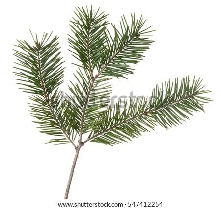 Pine, fir twig isolated on white. Winter detail.