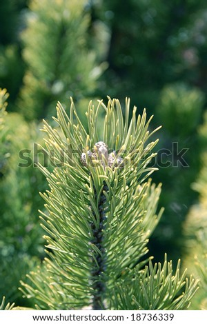 pine flower - stock photo
