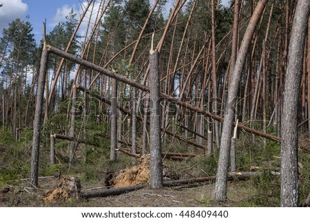 Pine forest after storm. Forest characteristic for pine forests of northern . Fallen trees, storm damage. Windfall. - stock photo