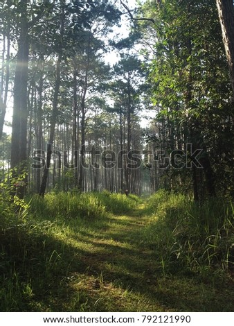 Pine forest at thailand