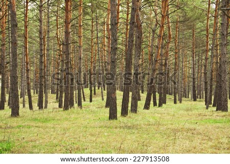 pine forest at the morning - stock photo