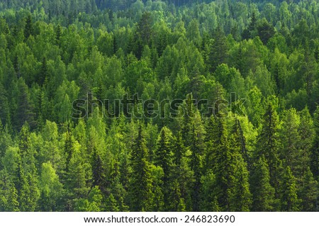 Pine forest background in the summer of Sweden - stock photo