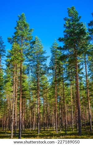 pine forest, blue sky,  sunny summer day - stock photo