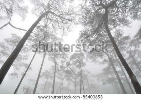 Pine forest cover with mist - stock photo