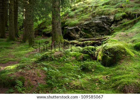 Pine forest growing on a mossed side of a hill in a sunny day near Bergen, Norway