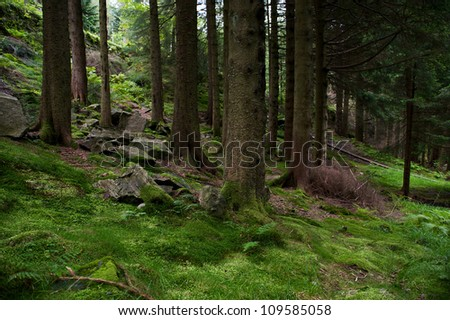 Pine forest growing on a side of hill all covered with moss near Bergen, Norway