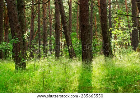 Pine forest growing on dunes near Baltic sea shore. Pomerania, northern Poland.  - stock photo