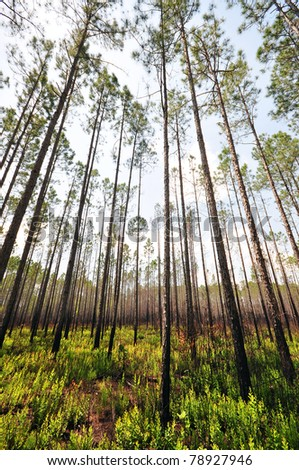 Pine forest in Florida - stock photo