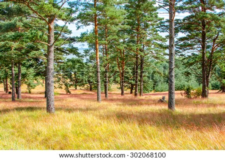 Pine forest in Neringa, Lithuania - stock photo