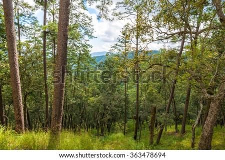 Pine forest in sub alpine, pine tree mountain - stock photo