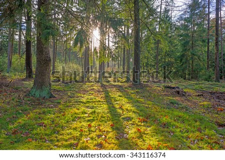 Pine forest in sunlight in autumn