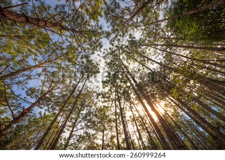 Pine forest in Thailand - stock photo