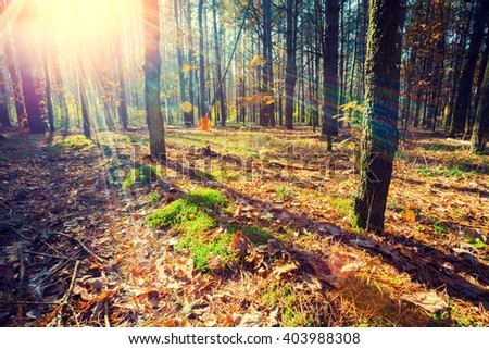 Pine forest in the morning - stock photo