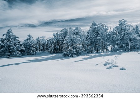 pine forest in the mountains during the winter season