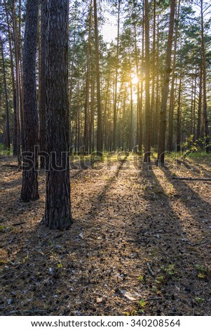 Pine forest in the summer