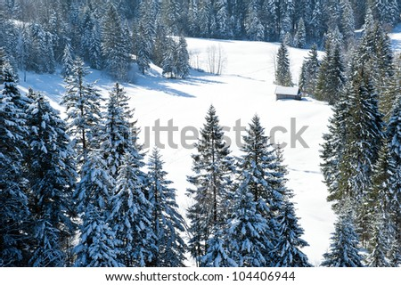 Pine forest in winter - stock photo
