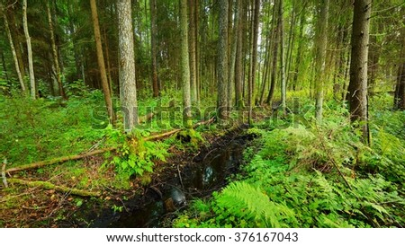 Pine forest landscape in Latvia
