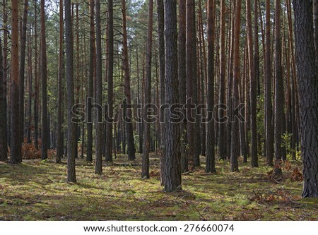 pine forest, pinery, Pine Tree, Fairy Forest, untouched spruce forest, glade in the pine forest - stock photo
