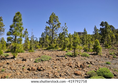 Pine forest (Pinus canariensis) at Tenerife in the Spanish Canary Islands