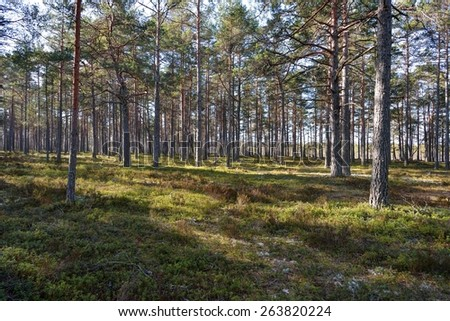 Pine forest Pinus sylvestris Spring time, Estonia  - stock photo