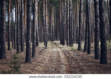 pine forest, sunny summer day, tall pine trees, road in the woods,beautiful forest, a lot of trees, road between trees, pine, outdoor, wooden background, old trees, - stock photo