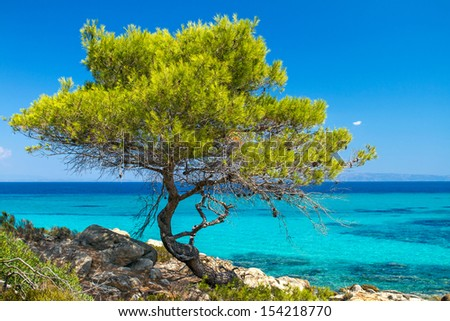 Pine forest tree by the sea in Halkidiki, Greece - stock photo
