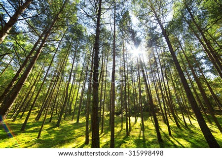 Pine forest tree wide angle view background - stock photo