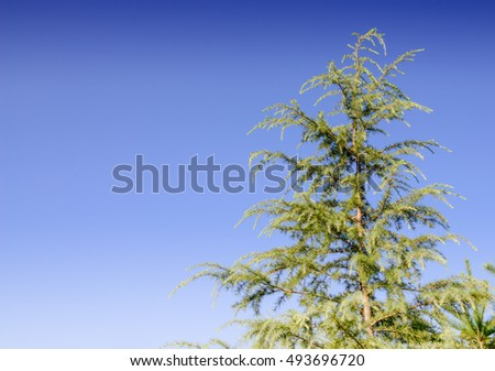 pine forest under deep blue sky in mountain