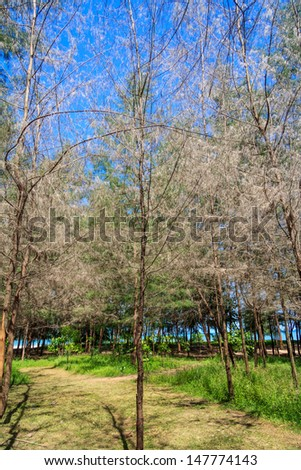 Pine Forest With Blue Sky