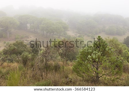 Pine forest with fog.