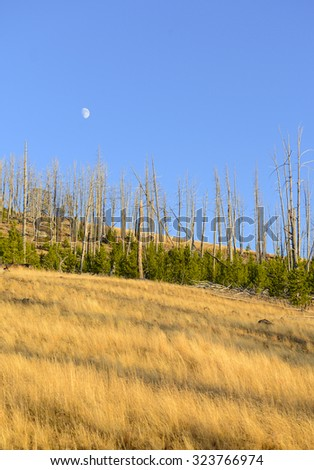 Pine forests showing new growth after the forest fires of 1988 burned large sections of Yellowstone National Park, Wyoming, USA - stock photo