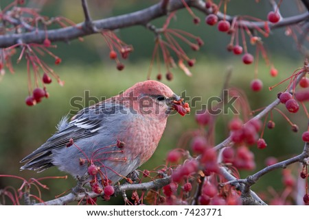 Pine grosbeak - stock photo