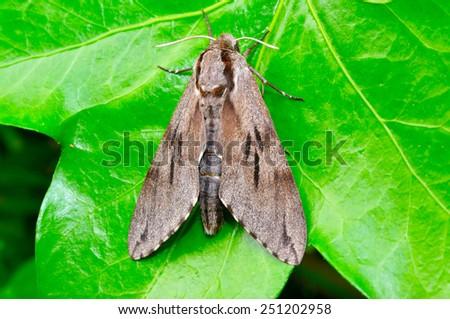 Pine Hawk-moth on a leaf. - stock photo