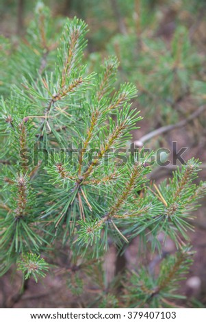 Pine in Jurmala, Latvia