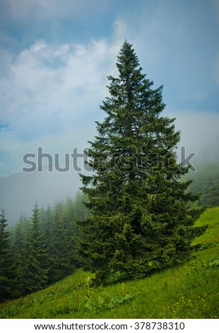 Pine in the Carpathians Mountains - stock photo