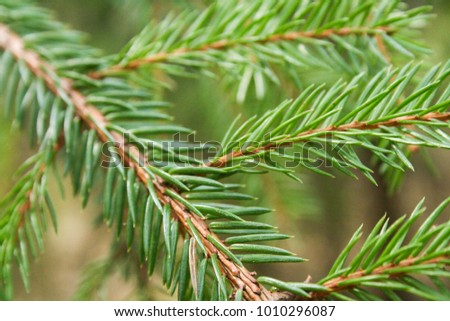 Pine in the forest