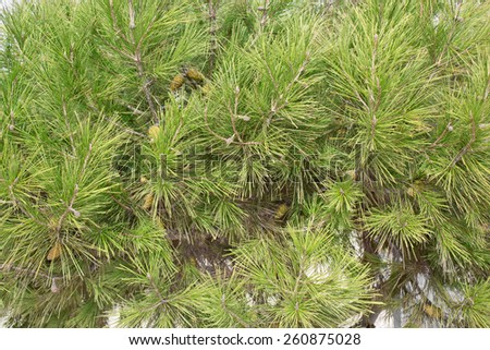 pine leaf texture - stock photo