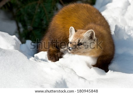 Pine Marten walking in the snow looking to the left. - stock photo